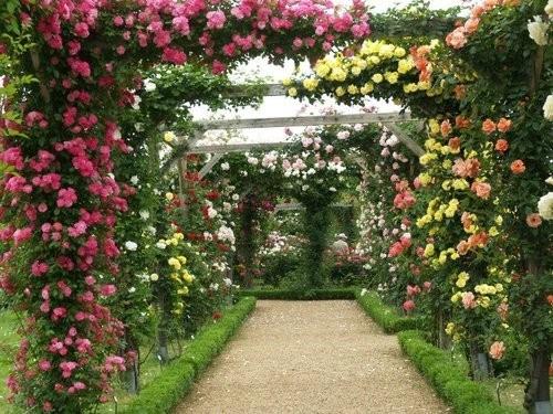 plantas de jardim lista:10 Sementes Rosa Chinensis Trepadeira – Flor Jardim Planta