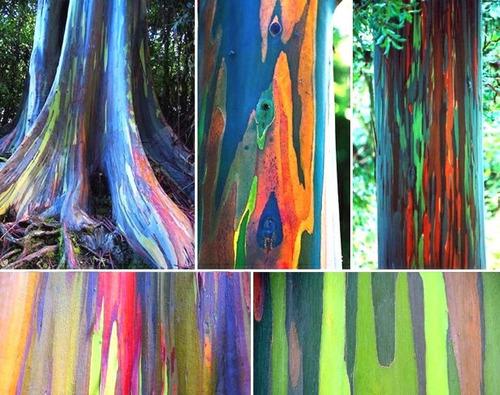 http://mlb-s2-p.mlstatic.com/100-sementes-frescas-eucalipto-arco-iris-eucaliptus-deglupta-17508-MLB20139261498_082014-O.jpg