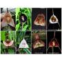 100 Sementes Orquídeas Cara De Macaco - Frete Gratis