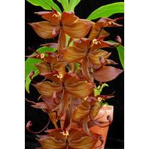 Cycnoches Cooperi - Uma Orquídea Rara E Fantástica !!!