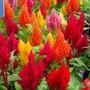 Celósia Plumosa Sortida (rabo De Galo) -frete Gratis 400 Sem