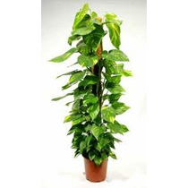 Jiboia Planta