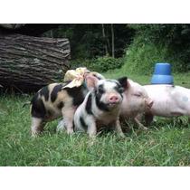 Mini Porco ..excelente Linhagem ..filhotes Machinhos ..