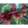 Muda De Jambo Vermelho Frutífera E Ornamental