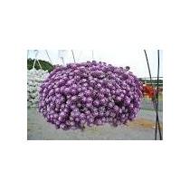 Sementes De Alyssum Maritimum Violeta Lobularia Maritima