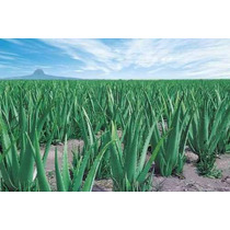 Muda De Aloe Vera Barbadensis Muller (babosa) Promoção !