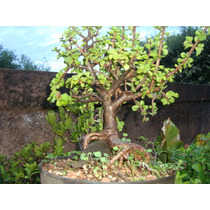 Bonsai De Crássula Suculenta Com 11 Anos * Bonsai Junior*