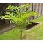 5 Mudas De Palmeira Caryota(rabo De Peixe) Preço De Produtor