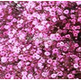 Sementes De Mosquitinho Rosa Cravo De Amor Gipsofila Pink