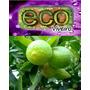 Muda Limão Taiti Enxertada Precoce De Alta Qualidade Tahiti