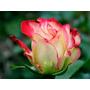 10 Sementes Rosa Exótica Rara First Lady + Frete Grátis