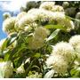 Sementes De Murta Limão Perfume-árvore Verbena Doce Melífera