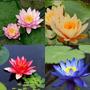 8 Sementes Flor Lótus Aquática (1 Cada Cor) Rosa Das Àguas