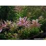Rotala Sp Pink Planta Para Aquario (10 Ramos)