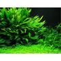 Microsorum Pteropus Planta Para Aquário(muda)