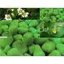 20 Sementes De Morango Verde - Frete Grátis
