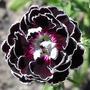 5 Sementes Da Raríssima Black Dianthus - Flor Dos Deuses.