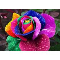 90 Sementes Rosas Exóticas 9 Tipos E Lindas Cores Importada