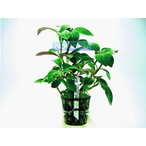 Planta L6 Lobelia Cardinalis - Aquapet