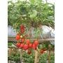 Sementes De Morango Pode Ser Plantado Em Vasos