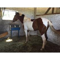 Cavalo Pampa (vermelho E Branco, Cor Invejável)
