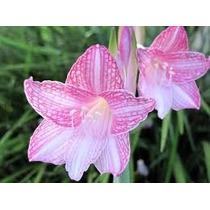 Bulbo De Amarilis-rosa-reticulatum