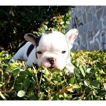 Bulldog Francês Filhotes Blue Gen