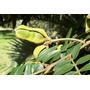 30 Mudas De Ingá Banana No Tubete - Arvore Nativa