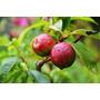 Mudas Enxertadas - Mudas De Alporquia, Nectarina Produzindo