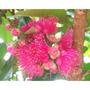 Mudas Enxertadas - Mudas De Alporquia, Jambo Rosa Produzindo