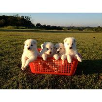 Lindos Filhotes De Pastor Branco, Só Com A Pet Store