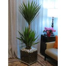 Palmeira Yucca Iuca No Cachepot De Vidro 40x40x40cm