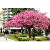 Mudas De Cerejeira Japonesa ( Sakura )