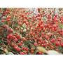 Physalis Hosuky 100 Sementes-fruta Rara-frete Gratis