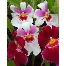 Orquídea Miltônia Adulta Com Flores*- Plantada Em Vaso.!!!!!
