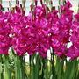 Bulbos De 04 Gladíolos Pink Palmas De Santa Rita -veja Frete