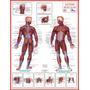 Mapa Do Sistema Muscular - Medicina Anatomia E Fisioterapia