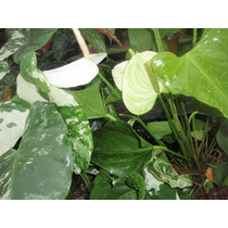 Antúrio Branco Leitoso - Natural - Cultivo Próprio 35,00