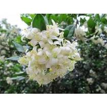 Mudas Enraizadas De Murta Por Apenas 23,00 Dando Flores