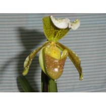 Orquidea Sapatinho. Muda Adulta E Fácil De Cultivo.