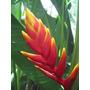 Heliconia Flabelata - Muda - Flores Tropicais