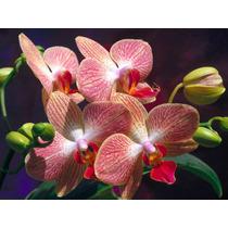 10 Sementes De Orquídeas Raras