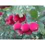 Muda De Veludinho Vermelho Ou Pau De Espeto - Fruta Exótica