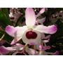 Mudas De Dendrobium Nobile - Orquidea