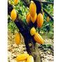 Mudas De Cacau (theobroma Cacao) Cacaueiro