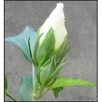 Muda De Hibisco Branco- Da Síria - Syriacus - Rosa De Sharon