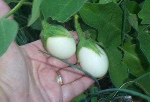 Sementes Raras, Planta De Ovos  Jardim Mudas Ornamentais (Sementes) a