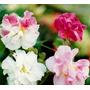 Sementes Raras De Hibiscus Mutabilis - Flores Mudam De Cor