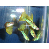 ## Lebister ## Guppy Giant Yellow Snakeskin Filigran ##
