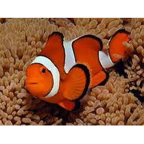 Peixe Palhaço Amphiprion Ocellaris ( Nemo) 2 A 3 Cm R$ 39,00